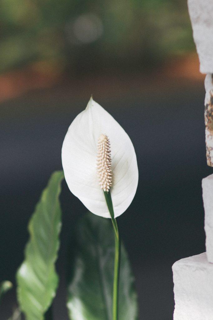 flor del espatifilio
