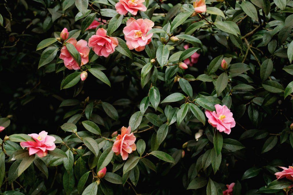 begonia flores rosas